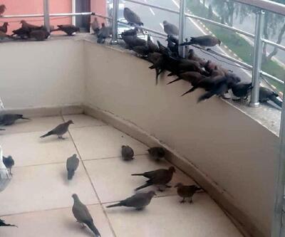 Kumrular aç kalmasın diye balkonuna yem bırakıyor