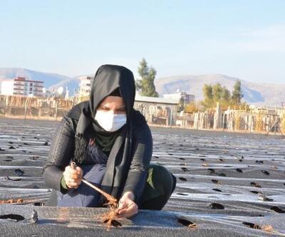 Kızıltepe'de kadınlar 100 bin çilek fidanını toprakla buluşturdu