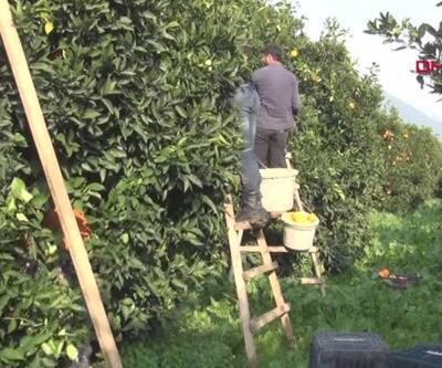Portakalda verim düştü fiyat arttı | Video