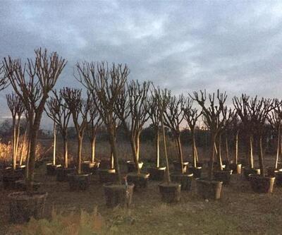 Balıkesir'de egzoz gazından zarar gören ağaçlar yenileniyor