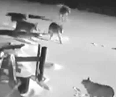Aç kalan kurtlar köye indi | Video
