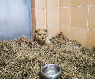 İzmir'de bir çiftlikte 3 aylık yavru aslan ele geçirildi