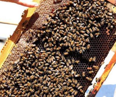 'Arıların Covid- 19'u tespiti konusunda bir test ve araştırma yapılmalı'