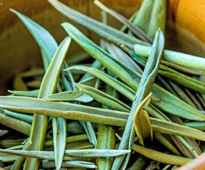 Zeytin yaprağındaki Oleorupin maddesi nedir, etkileri neler, virüse karşı koruyor mu? Zeytin yaprağı çayı nasıl demlenir?