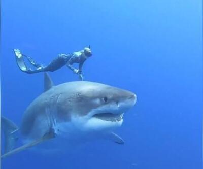 6 metrelik büyük beyaz köpekbalığı ile yüzdüler