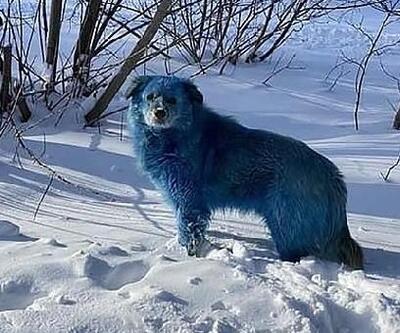Rusya'da kimyasal atık nedeniyle köpeklerin renginin mavi olduğu iddiası