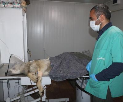 Yüksekova'da endişe yaratan kurt yakalandı