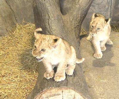 Onlar 2021'in ilk yavru aslanları... İsimleri halk oyuyla belirlenecek