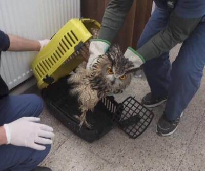 Avcıların vurduğu yaralı puhu kuşuna özel bakım