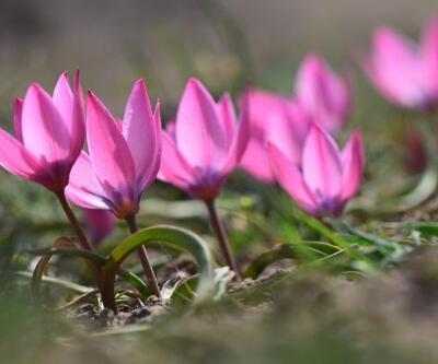 Aksaray'da yetişen aromatik bitkiler, gün yüzüne çıkartılacak