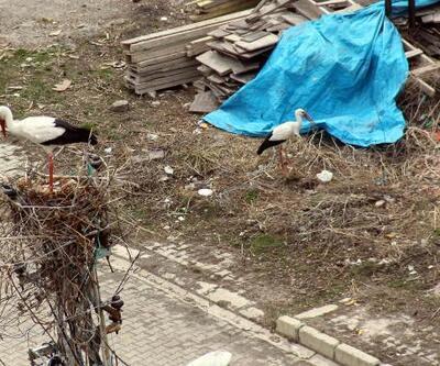 Ardahan'a gelen leylekler yuvalarını kuruyor