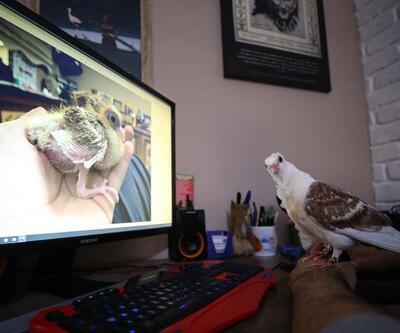 Ölmek üzereyken kurtarılan güvercin hataya tutundu
