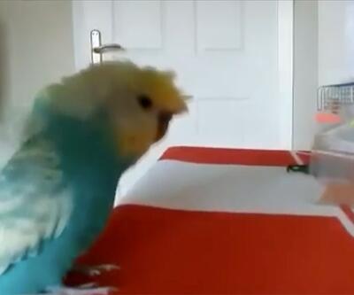 Sivassporlu muhabbet kuşu tezahüratıyla şaşırtıyor