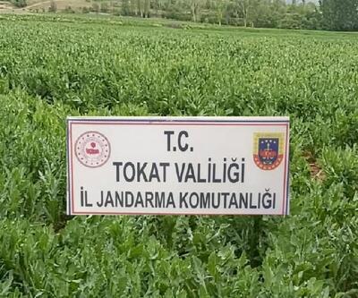 Tokat'ta kaçak ekilen 610 bin kök haşhaş bitkisi ele geçirildi