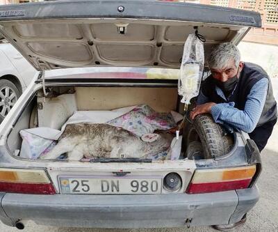 Hastalanan buzağısını otomobilin bagajında veterinere götürdü