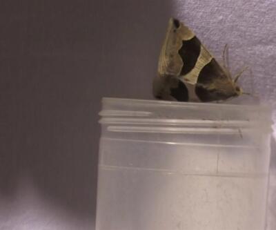 Gece kelebeklerinin peşindeler