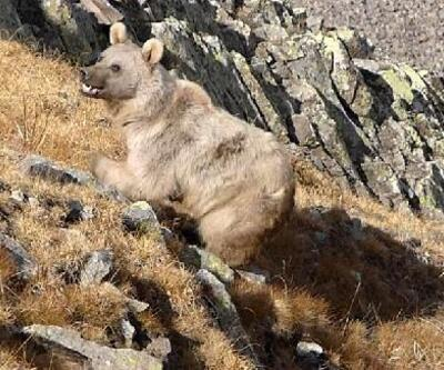 Turistlere 'ayıyı görünce bağırıp şarkı söyleyin' uyarısı