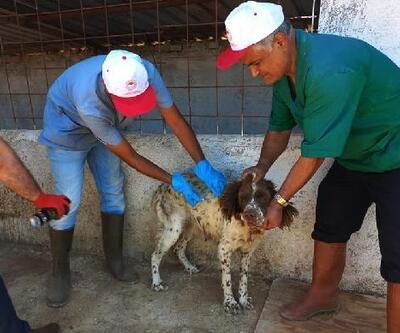 İslahiye'de barınaktaki hayvanlar aşılandı