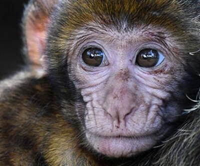 Maymunlar, insanı tuğla ile öldürdü