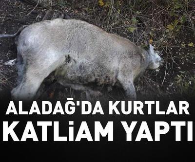 Aladağ'da kurtlar 45 küçük ve büyükbaş hayvanı parçaladı