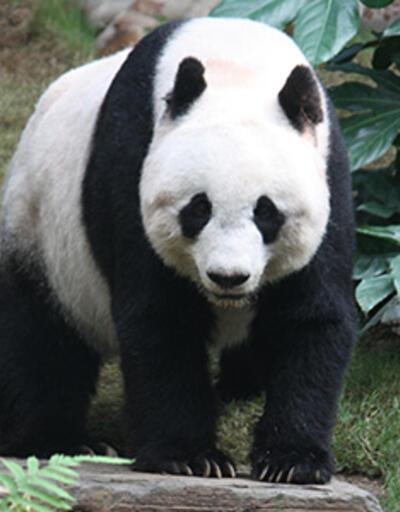 """Sevgililer Günü hediyeniz """"panda"""" olsun"""