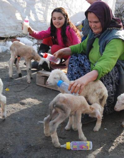 Bir batında 5 kuzu doğuran koyun şaşırttı