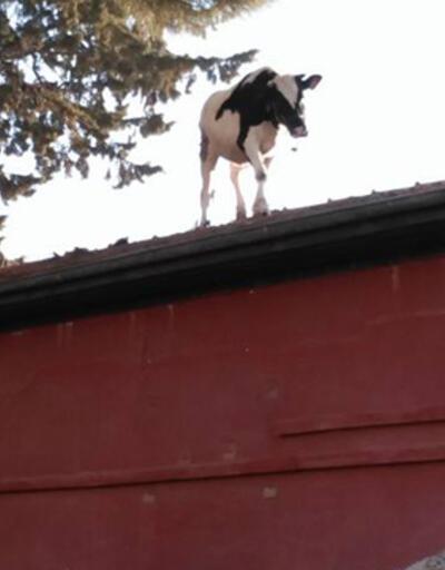 Kesime götürülen inek mezbaha çatısına çıktı