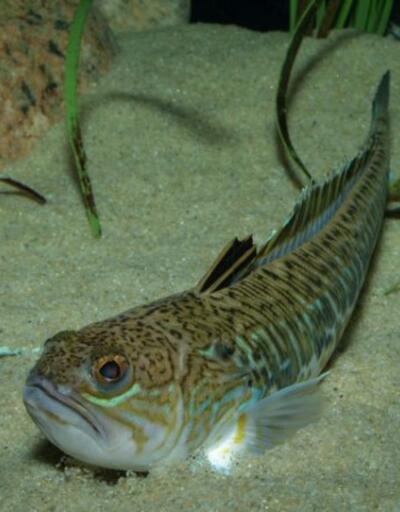 Trakonya balığı Antalyalı kadını hastanelik etti