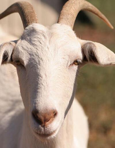 Malkara'da keçi beşiz doğurdu