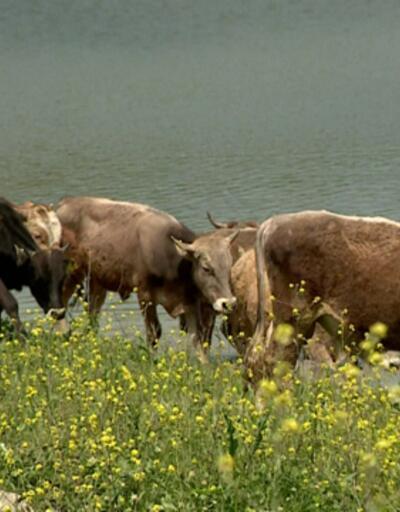 Tek ihalede en büyük sığır ithalatı yapılacak