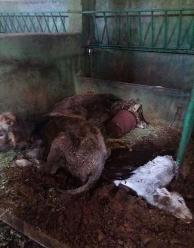 Erzurum'da 19 büyükbaş hayvan açlıktan telef oldu