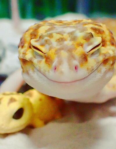 Dünyanın en mutlu kertenkelesi: Kohaku