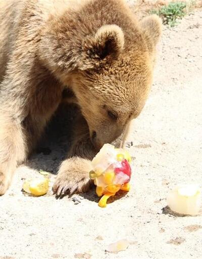 O kadar sıcak ki, yırtıcı hayvanlar dondurmayla serinliyor