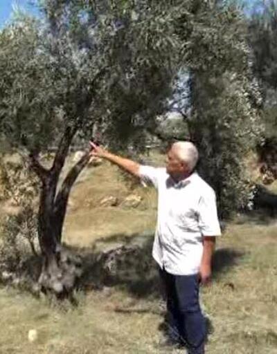 Antalya'da 23 bin zeytin ağacı susuz kaldı