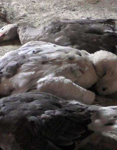 Ardahan'da kuş gribi şüphesi: Tavuklar itlaf edildi