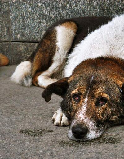 Sokak hayvanları artık 8 dakikada kısırlaştırılabilecek