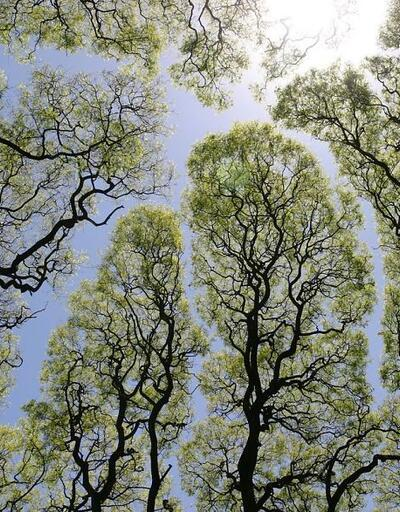 Ağaçların yüksek dalları neden birbirine değmez?