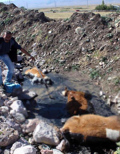Zifte saplanan 3 dana telef oldu, hayvanların sahibi isyan etti