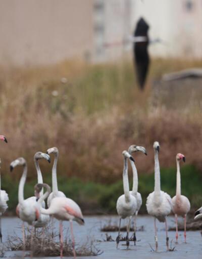 Doğa Derneği'nden İzmir otobanı tepkisi: Burası binlerce flamingonun evi