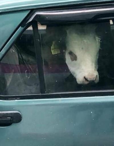 Otomobilin arka koltuğuna dana bindirdi