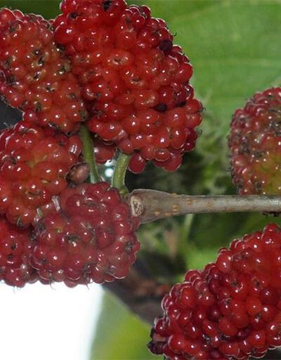 Mersin'de dut ağaçları Şubat'ta meyve verdi