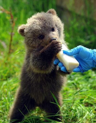 Öksüz kalan yavru ayılar Tolga, Lesi ve Aydın kefir ile balla besleniyorlar