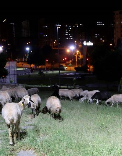 Ağıldan kaçan koyunlar parkta bulundu