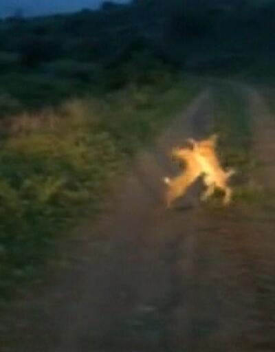 Tavşanların kavgası böyle görüntülendi