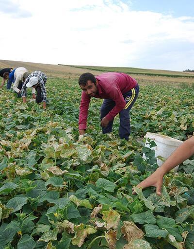 Tarım işçileri bayramı tarlada karşıladı