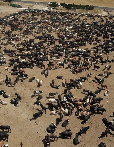 O çiftlikteki diğer hayvanlarda şarbon olup olmadığı 15 Eylül'de belli olacak