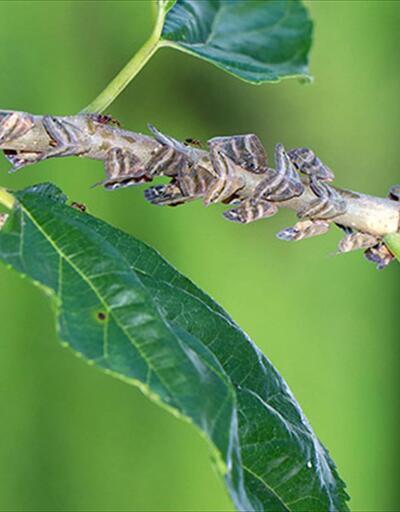 Çiftçinin kabusu olan yalancı kelebekle böyle mücadele edilecek