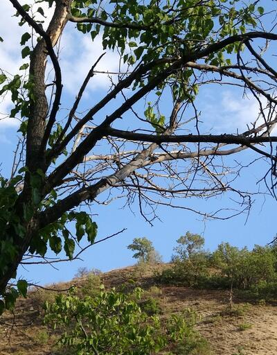 300 yıllık dut ağaçları kuruyor
