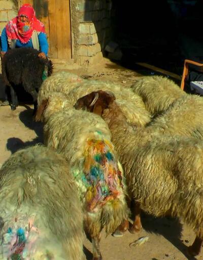 Sokak köpekleri sürüye saldırdı: 30 koyun telef oldu