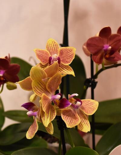 Marmaris orkidelerle renklendi